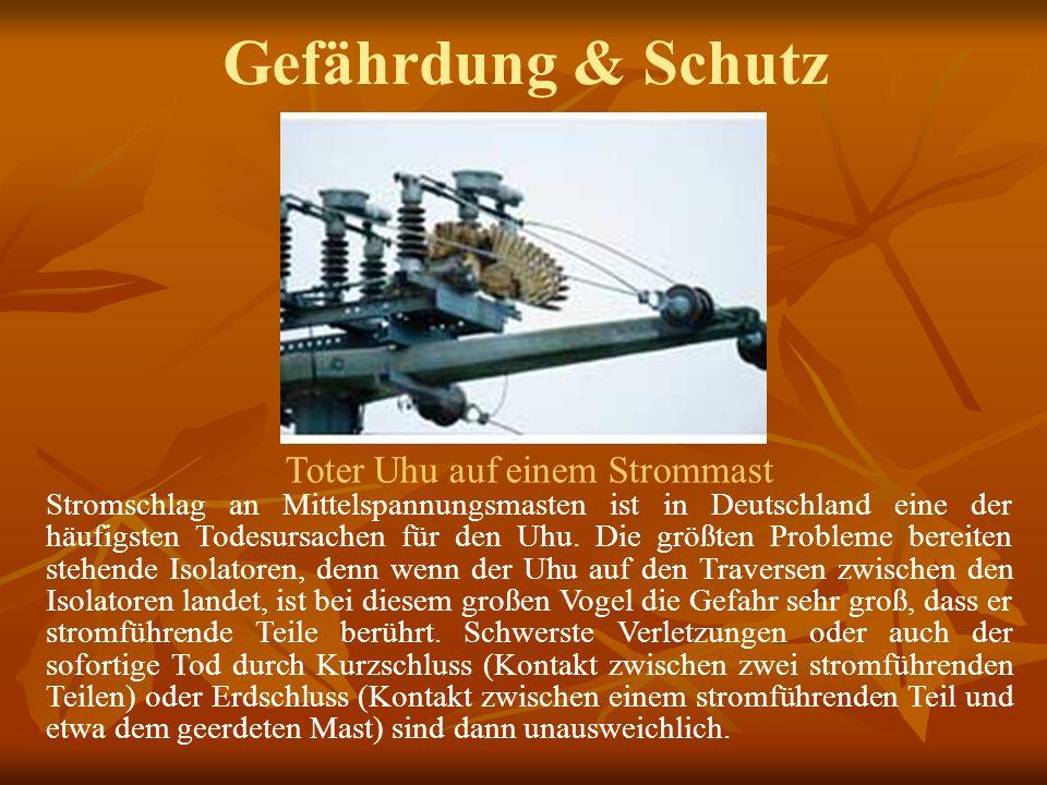 Gefährdung & Schutz Toter Uhu auf einem Strommast Stromschlag an Mittelspannungsmasten ist in Deutschland eine der häufigsten Todesursachen für den Uhu.