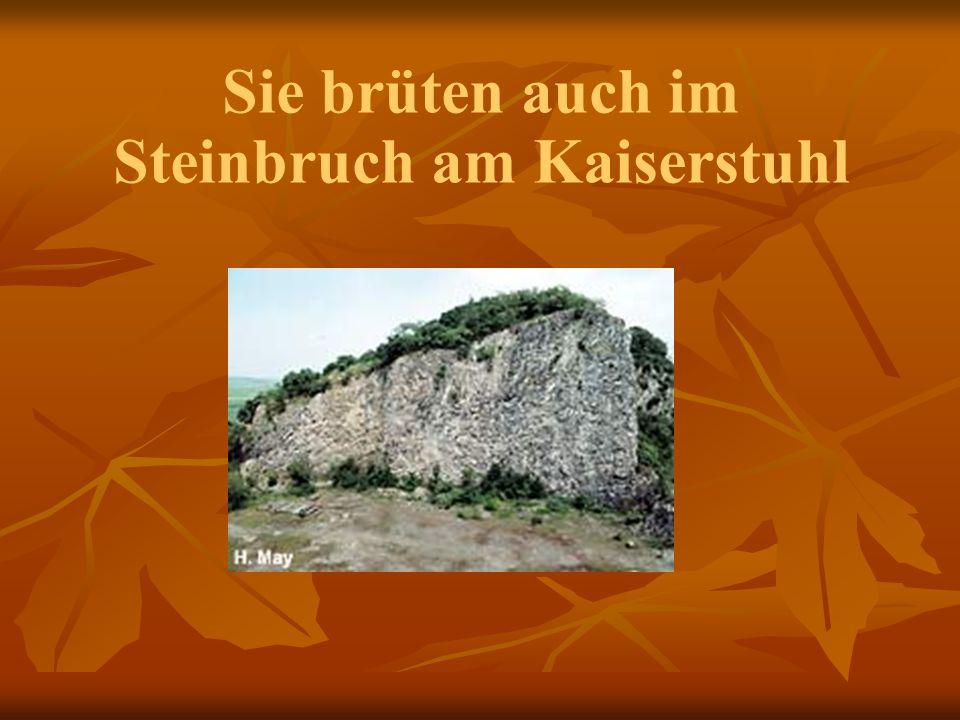 Sie brüten auch im Steinbruch am Kaiserstuhl
