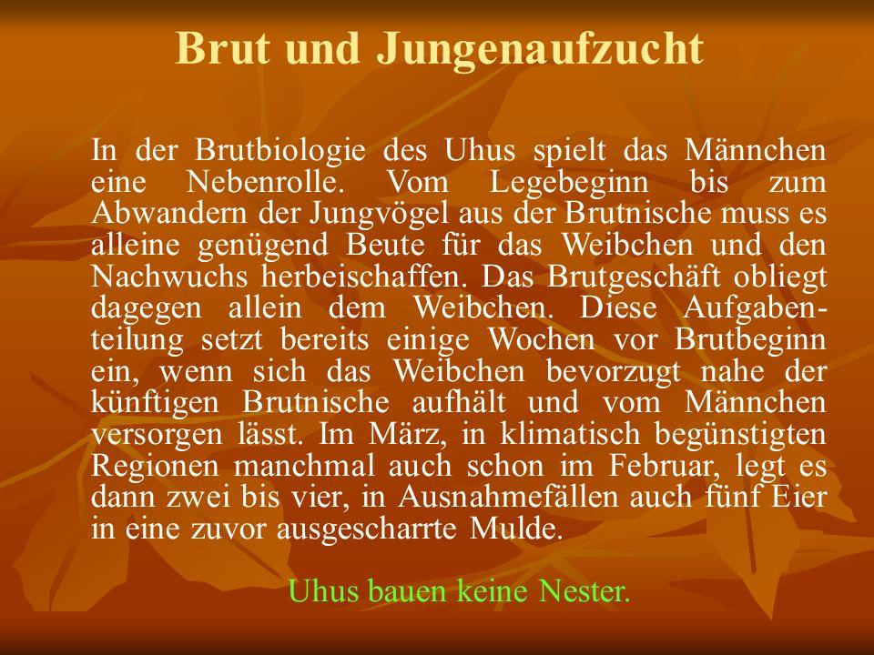 Brut und Jungenaufzucht In der Brutbiologie des Uhus spielt das Männchen eine Nebenrolle.