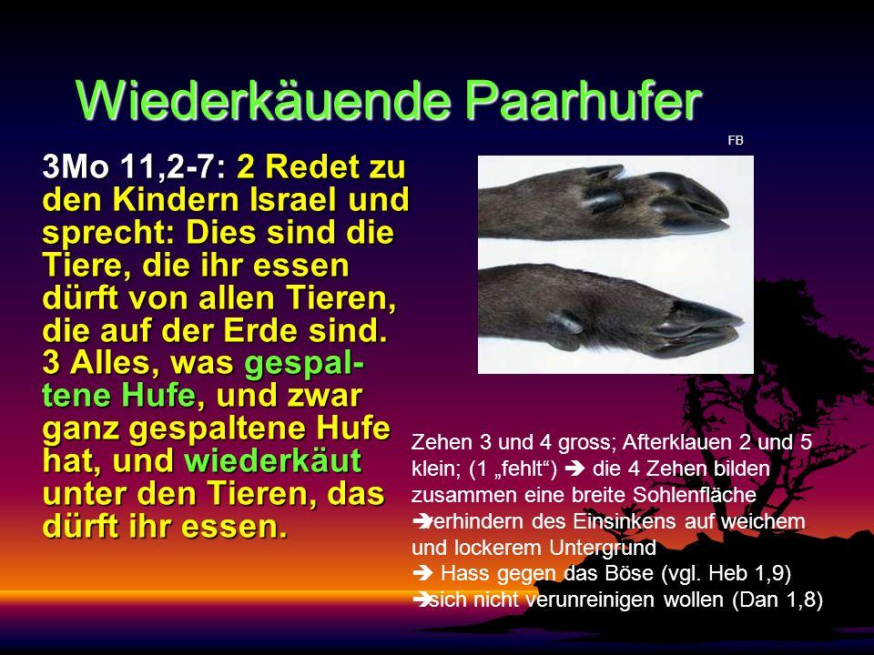 Wiederkäuende Paarhufer 3Mo 11,2-7: 2 Redet zu den Kindern Israel und sprecht: Dies sind die Tiere, die ihr essen dürft von allen Tieren, die auf der