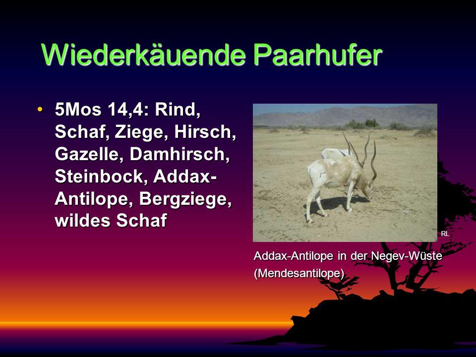 Wiederkäuende Paarhufer 5Mos 14,4: Rind, Schaf, Ziege, Hirsch, Gazelle, Damhirsch, Steinbock, Addax- Antilope, Bergziege, wildes Schaf5Mos 14,4: Rind,