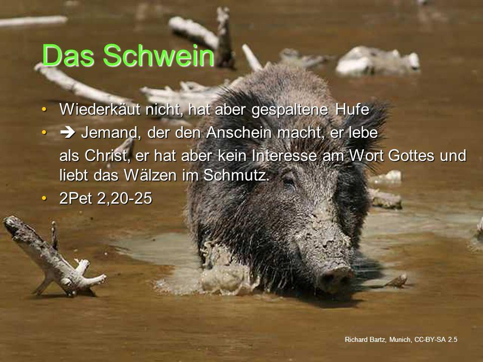 Das Schwein Wiederkäut nicht, hat aber gespaltene HufeWiederkäut nicht, hat aber gespaltene Hufe Jemand, der den Anschein macht, er lebe Jemand, der d