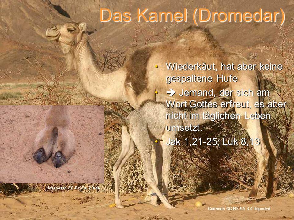 Das Kamel (Dromedar) Garrondo CC-BY-SA 3.0 Unported Masteraah CC-BY-Sa 2.0/de Wiederkäut, hat aber keine gespaltene HufeWiederkäut, hat aber keine ges
