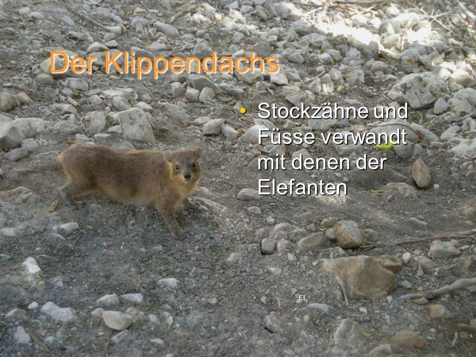 Stockzähne und Füsse verwandt mit denen der ElefantenStockzähne und Füsse verwandt mit denen der Elefanten Der Klippendachs EL