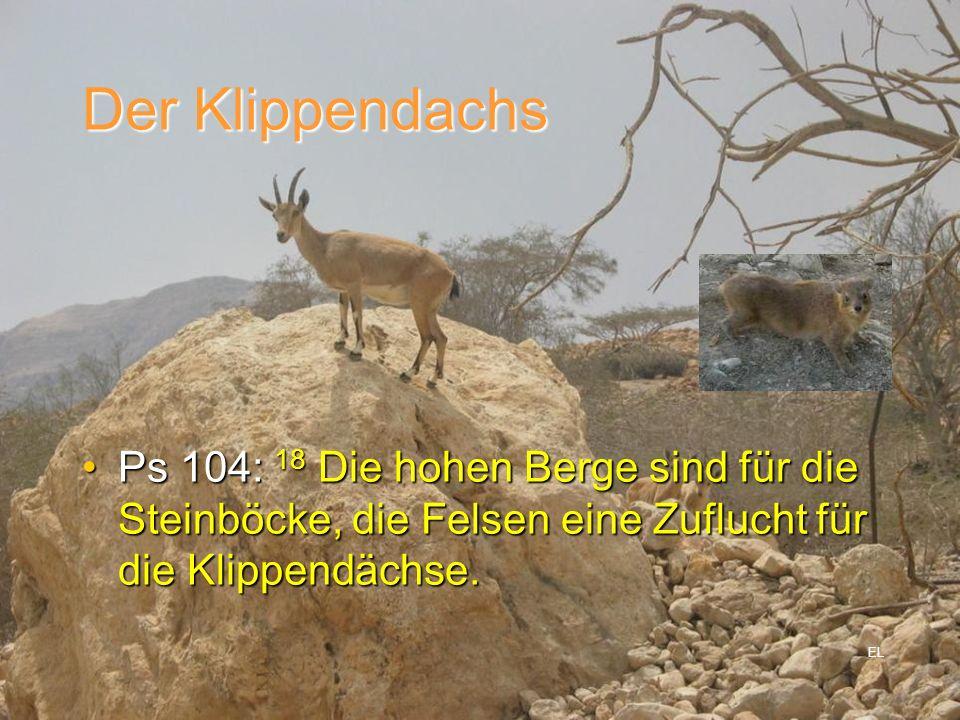 Der Klippendachs Ps 104: 18 Die hohen Berge sind für die Steinböcke, die Felsen eine Zuflucht für die Klippendächse.Ps 104: 18 Die hohen Berge sind fü