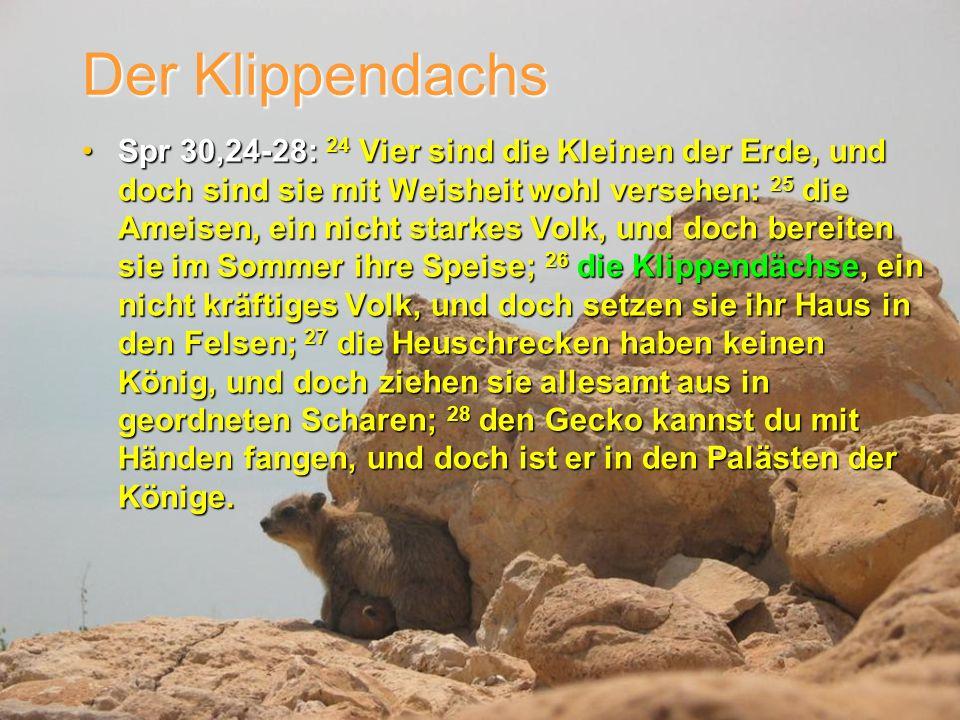 Der Klippendachs Spr 30,24-28: 24 Vier sind die Kleinen der Erde, und doch sind sie mit Weisheit wohl versehen: 25 die Ameisen, ein nicht starkes Volk