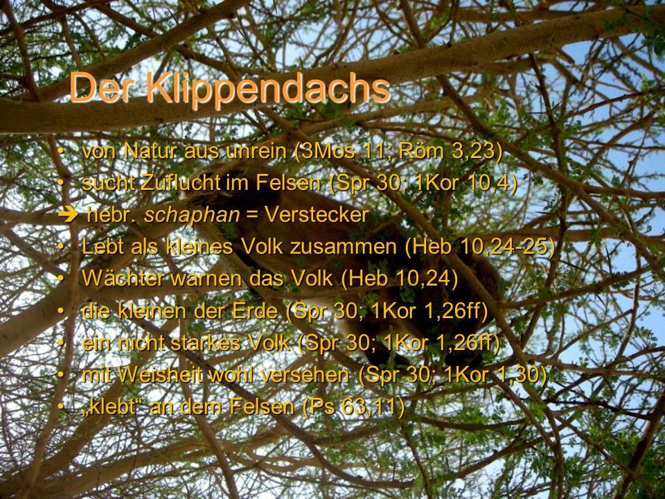 Der Klippendachs von Natur aus unrein (3Mos 11; Röm 3,23)von Natur aus unrein (3Mos 11; Röm 3,23) sucht Zuflucht im Felsen (Spr 30; 1Kor 10,4)sucht Zu
