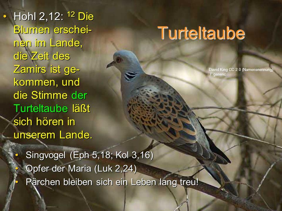 Turteltaube Hohl 2,12: 12 Die Blumen erschei- nen im Lande, die Zeit des Zamirs ist ge- kommen, und die Stimme der Turteltaube läßt sich hören in unse