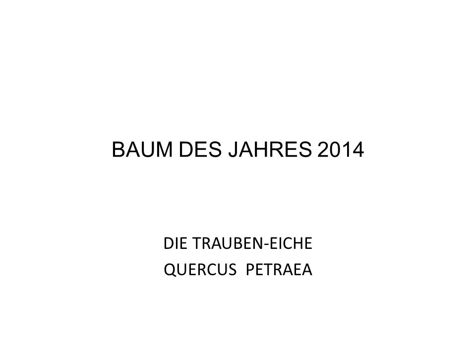 BAUM DES JAHRES 2014 DIE TRAUBEN-EICHE QUERCUS PETRAEA