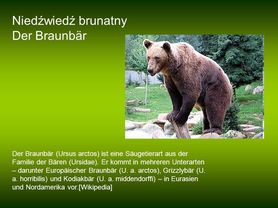 Niedźwiedź brunatny Der Braunbär Der Braunbär (Ursus arctos) ist eine Säugetierart aus der Familie der Bären (Ursidae). Er kommt in mehreren Unterarte