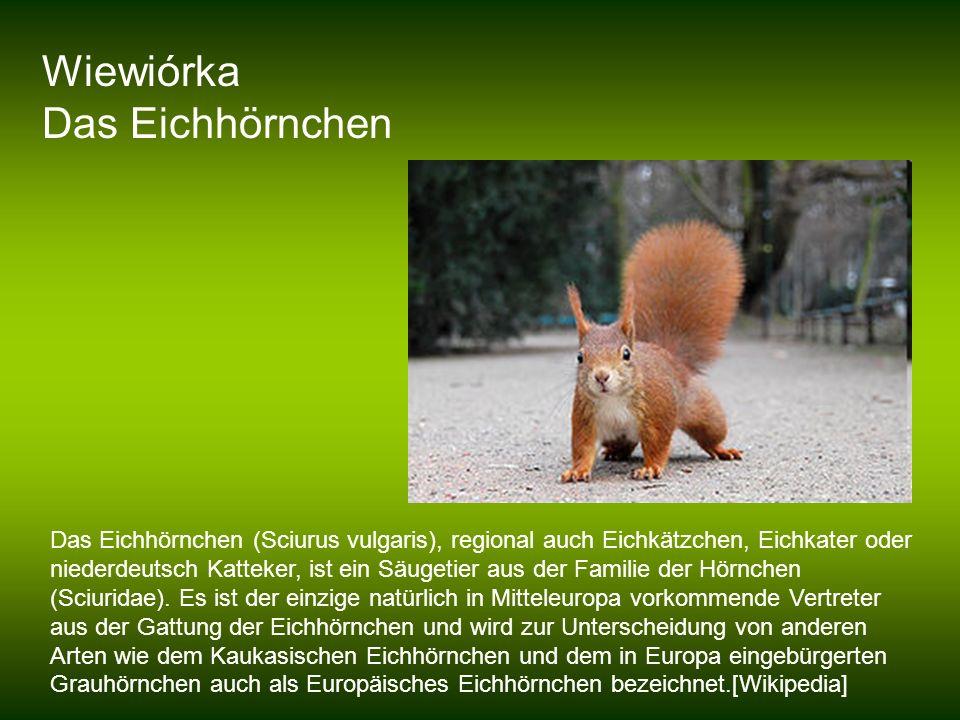 Wiewiórka Das Eichhörnchen Das Eichhörnchen (Sciurus vulgaris), regional auch Eichkätzchen, Eichkater oder niederdeutsch Katteker, ist ein Säugetier a