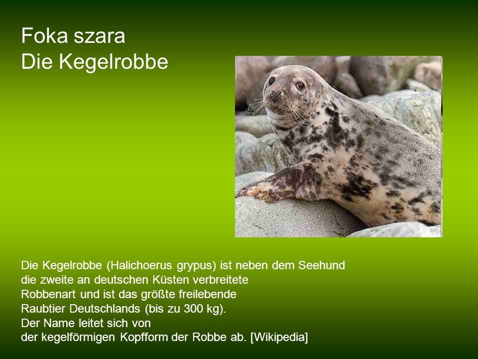 Foka szara Die Kegelrobbe Die Kegelrobbe (Halichoerus grypus) ist neben dem Seehund die zweite an deutschen Küsten verbreitete Robbenart und ist das g