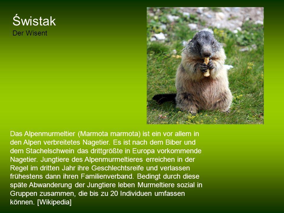 Świstak Der Wisent Das Alpenmurmeltier (Marmota marmota) ist ein vor allem in den Alpen verbreitetes Nagetier. Es ist nach dem Biber und dem Stachelsc