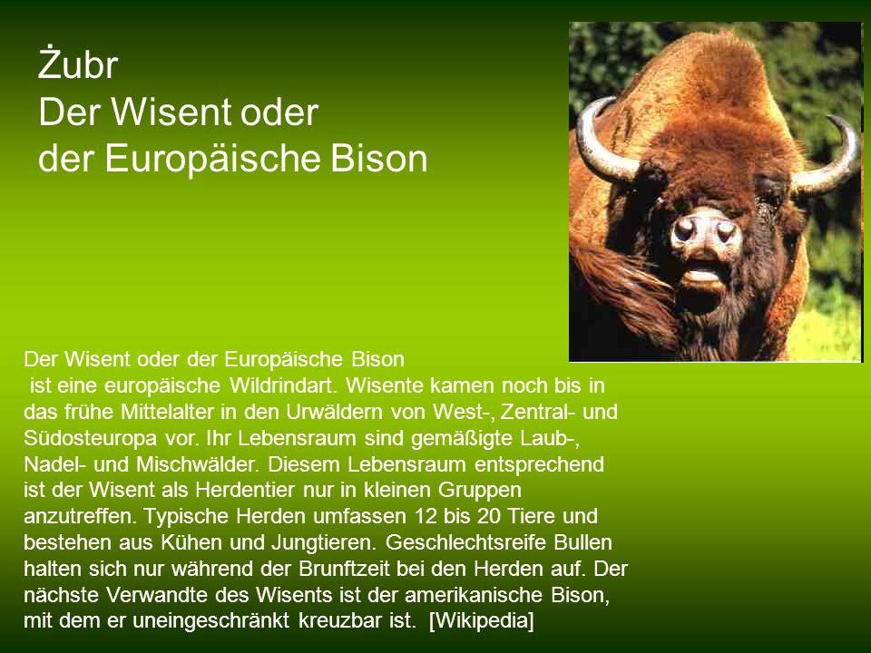 Żubr Der Wisent oder der Europäische Bison Der Wisent oder der Europäische Bison ist eine europäische Wildrindart. Wisente kamen noch bis in das frühe