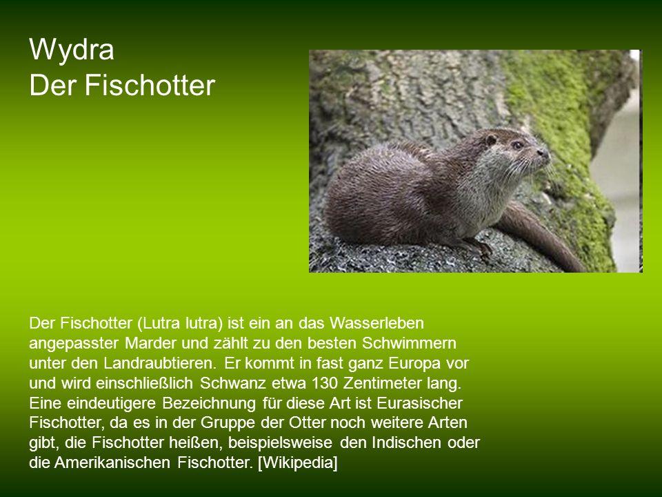 Wydra Der Fischotter Der Fischotter (Lutra lutra) ist ein an das Wasserleben angepasster Marder und zählt zu den besten Schwimmern unter den Landraubt
