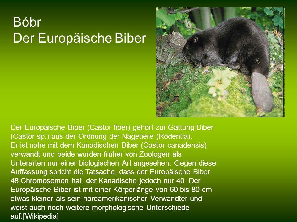 Bóbr Der Europäische Biber Der Europäische Biber (Castor fiber) gehört zur Gattung Biber (Castor sp.) aus der Ordnung der Nagetiere (Rodentia). Er ist