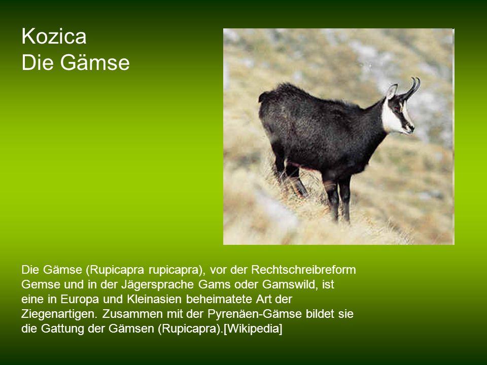 Kozica Die Gämse Die Gämse (Rupicapra rupicapra), vor der Rechtschreibreform Gemse und in der Jägersprache Gams oder Gamswild, ist eine in Europa und