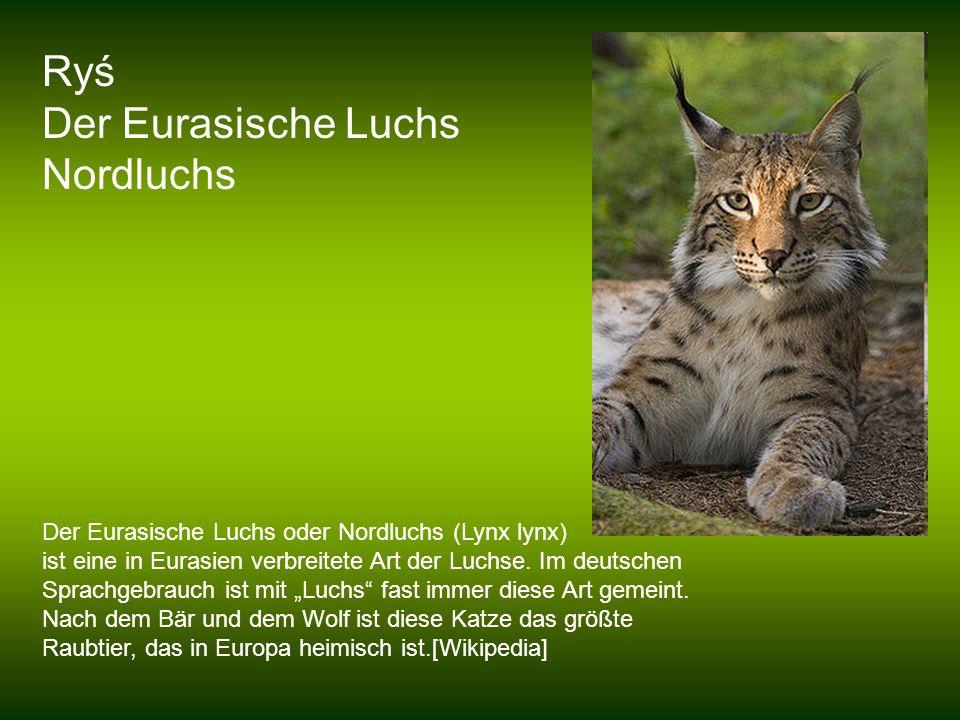 Ryś Der Eurasische Luchs Nordluchs Der Eurasische Luchs oder Nordluchs (Lynx lynx) ist eine in Eurasien verbreitete Art der Luchse. Im deutschen Sprac