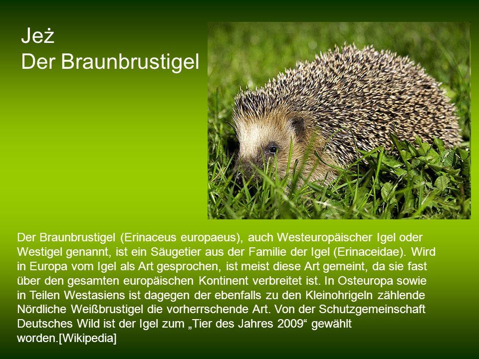 Jeż Der Braunbrustigel Der Braunbrustigel (Erinaceus europaeus), auch Westeuropäischer Igel oder Westigel genannt, ist ein Säugetier aus der Familie d