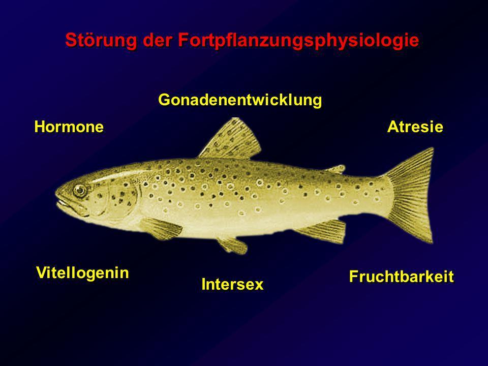 Blut Leber Ovarien Dotterprotein Biomarker für eine östrogene Belastung Vitellogenin (Vtg) nur in Weibchen Estradiol nach Östrogenexposition Synthese in Männchen und juvenilen Fischen
