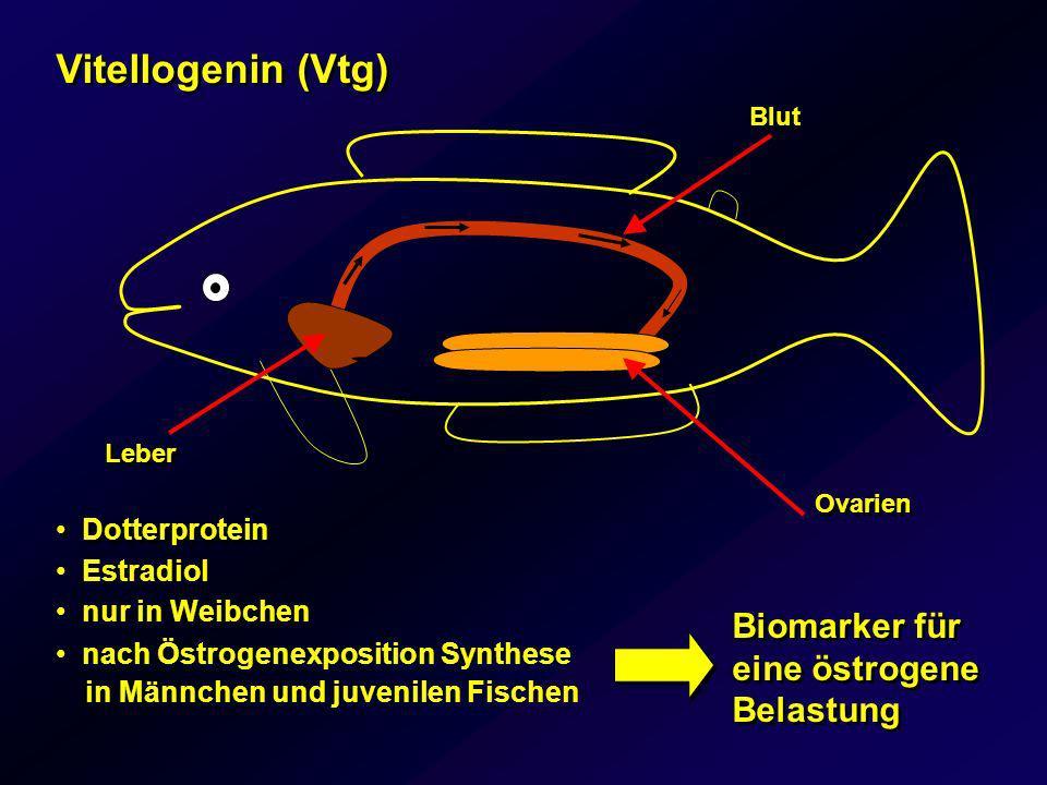 Männchen unterschiedliche Probestellen Belastung mit östrogenen Schadstoffen in den Testgebieten ist gering nur 10 von 197 Männchen Vitellogenin > 1000 ng/mL nur 10 von 197 Männchen Vitellogenin > 1000 ng/mL