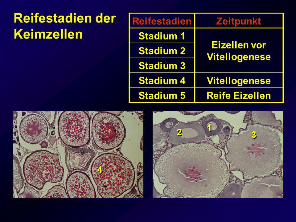 ReifestadienZeitpunkt Stadium 1 Eizellen vor Vitellogenese Stadium 2 Stadium 3 Stadium 4Vitellogenese Stadium 5Reife Eizellen 4 4 Reifestadien der Kei