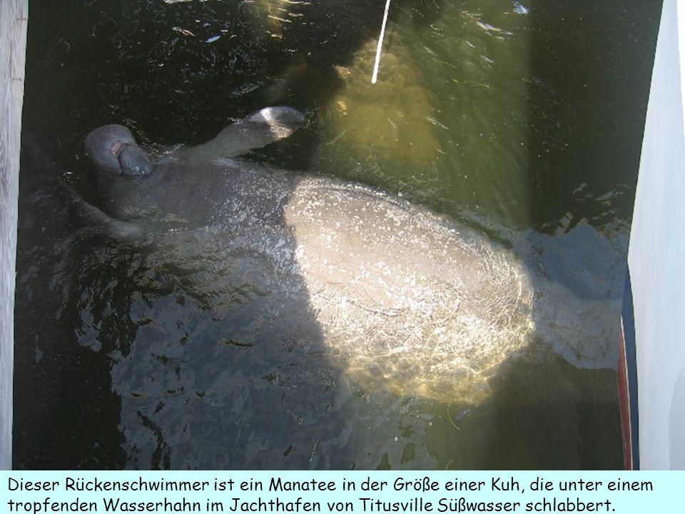 Dieser Rückenschwimmer ist ein Manatee in der Größe einer Kuh, die unter einem tropfenden Wasserhahn im Jachthafen von Titusville Süßwasser schlabbert.