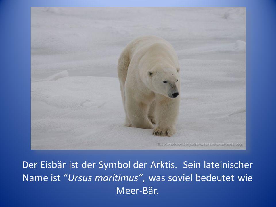 Der Eisbär ist der Symbol der Arktis.