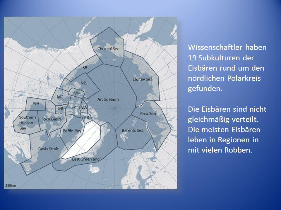 Wissenschaftler haben 19 Subkulturen der Eisbären rund um den nördlichen Polarkreis gefunden.
