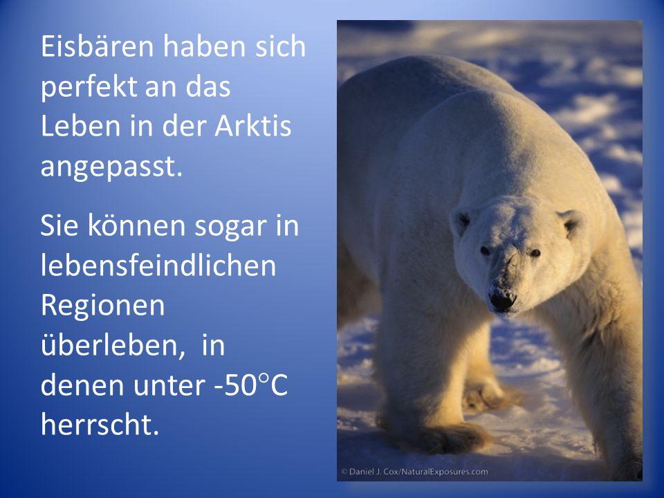 Eisbären haben sich perfekt an das Leben in der Arktis angepasst.