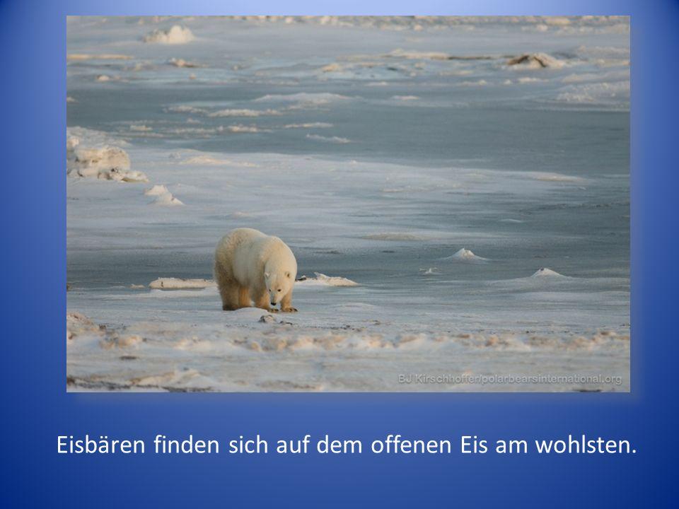 Eisbären finden sich auf dem offenen Eis am wohlsten.