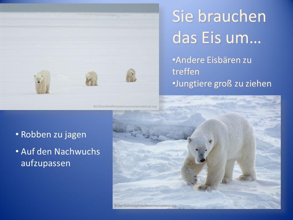 Sie brauchen das Eis um… Andere Eisbären zu treffen Jungtiere groß zu ziehen Sie brauchen das Eis um… Andere Eisbären zu treffen Jungtiere groß zu ziehen Robben zu jagen Auf den Nachwuchs aufzupassen