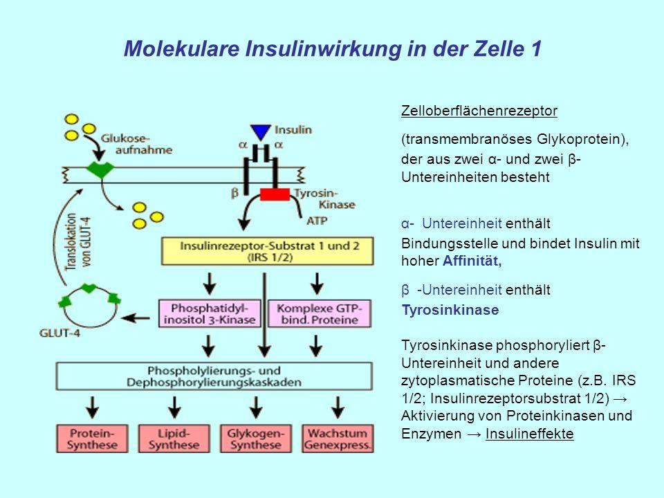 Molekulare Insulinwirkung in der Zelle 1 Zelloberflächenrezeptor (transmembranöses Glykoprotein), der aus zwei α- und zwei β- Untereinheiten besteht α