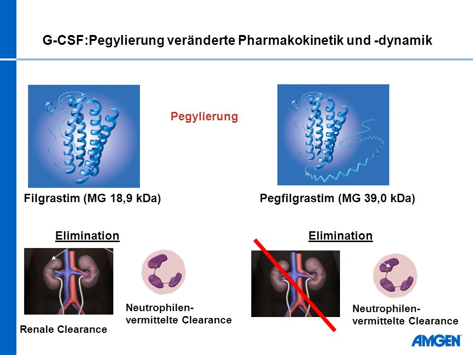 Filgrastim (MG 18,9 kDa)Pegfilgrastim (MG 39,0 kDa) Pegylierung Renale Clearance Neutrophilen- vermittelte Clearance Elimination G-CSF:Pegylierung veränderte Pharmakokinetik und -dynamik
