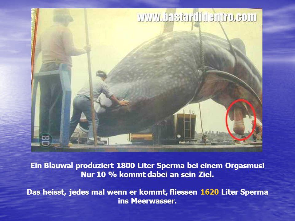 Ein Blauwal produziert 1800 Liter Sperma bei einem Orgasmus! Nur 10 % kommt dabei an sein Ziel. Das heisst, jedes mal wenn er kommt, fliessen 1620 Lit