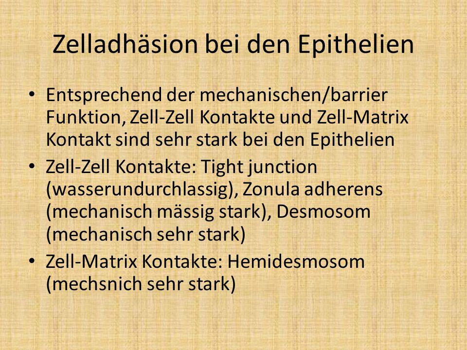 Zelladhäsion bei den Epithelien Entsprechend der mechanischen/barrier Funktion, Zell-Zell Kontakte und Zell-Matrix Kontakt sind sehr stark bei den Epi