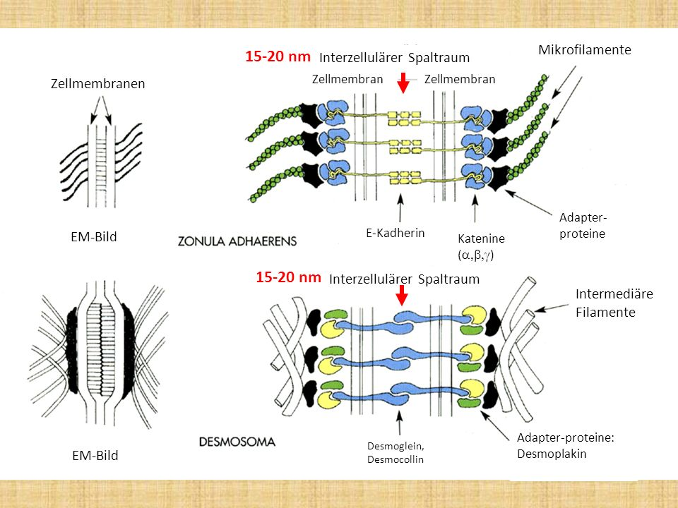 Zellmembranen EM-Bild Interzellulärer Spaltraum Zellmembran Mikrofilamente Intermediäre Filamente Katenine ( ) E-Kadherin Adapter- proteine Adapter-pr