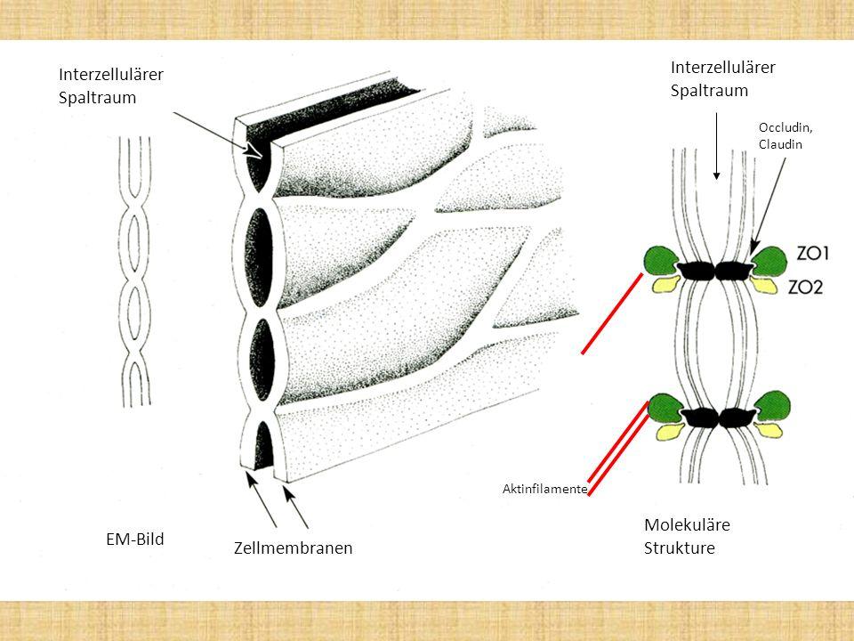 EM-Bild Interzellulärer Spaltraum Zellmembranen Molekuläre Strukture Occludin, Claudin Aktinfilamente Interzellulärer Spaltraum