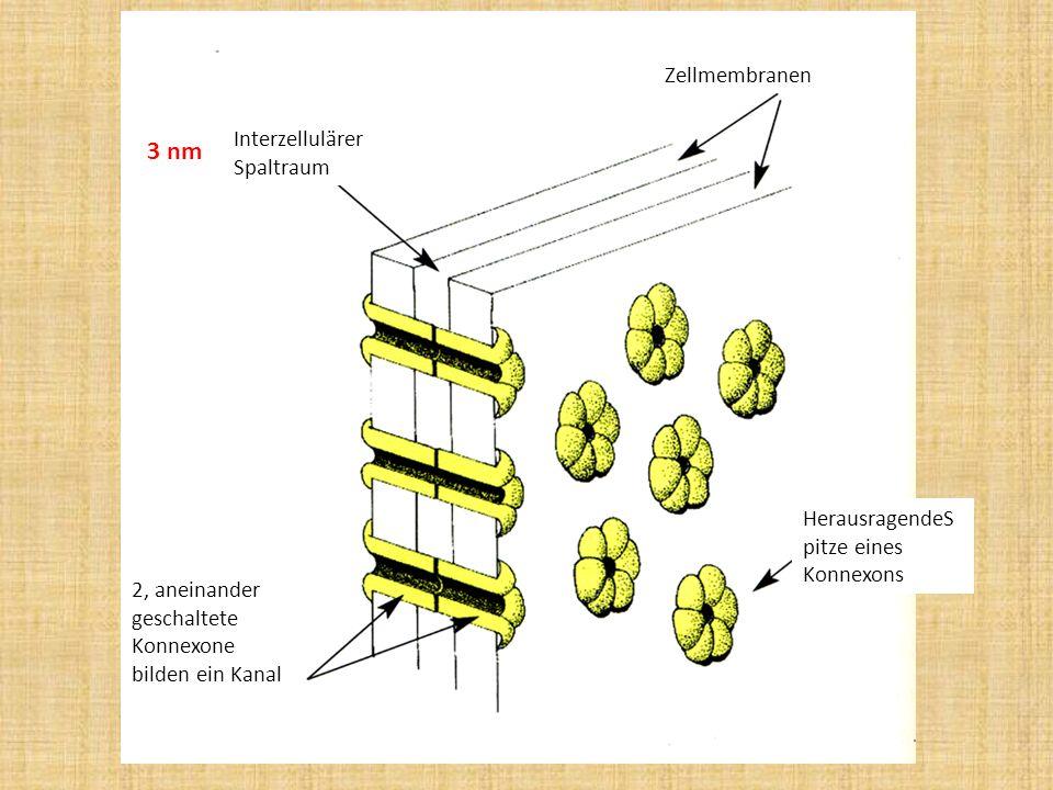 Zellmembranen Interzellulärer Spaltraum 2, aneinander geschaltete Konnexone bilden ein Kanal HerausragendeS pitze eines Konnexons 3 nm