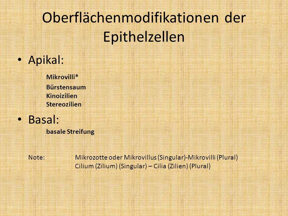Oberflächenmodifikationen der Epithelzellen Apikal: Mikrovilli* Bürstensaum Kinoizilien Stereozilien Basal: basale Streifung Note: Mikrozotte oder Mik
