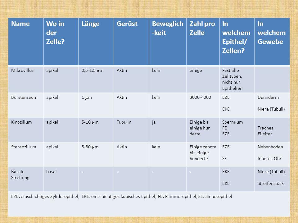 NameWo in der Zelle? LängeGerüstBeweglich -keit Zahl pro Zelle In welchem Epithel/ Zellen? In welchem Gewebe Mikrovillusapikal 0,5-1,5 m Aktinkeineini