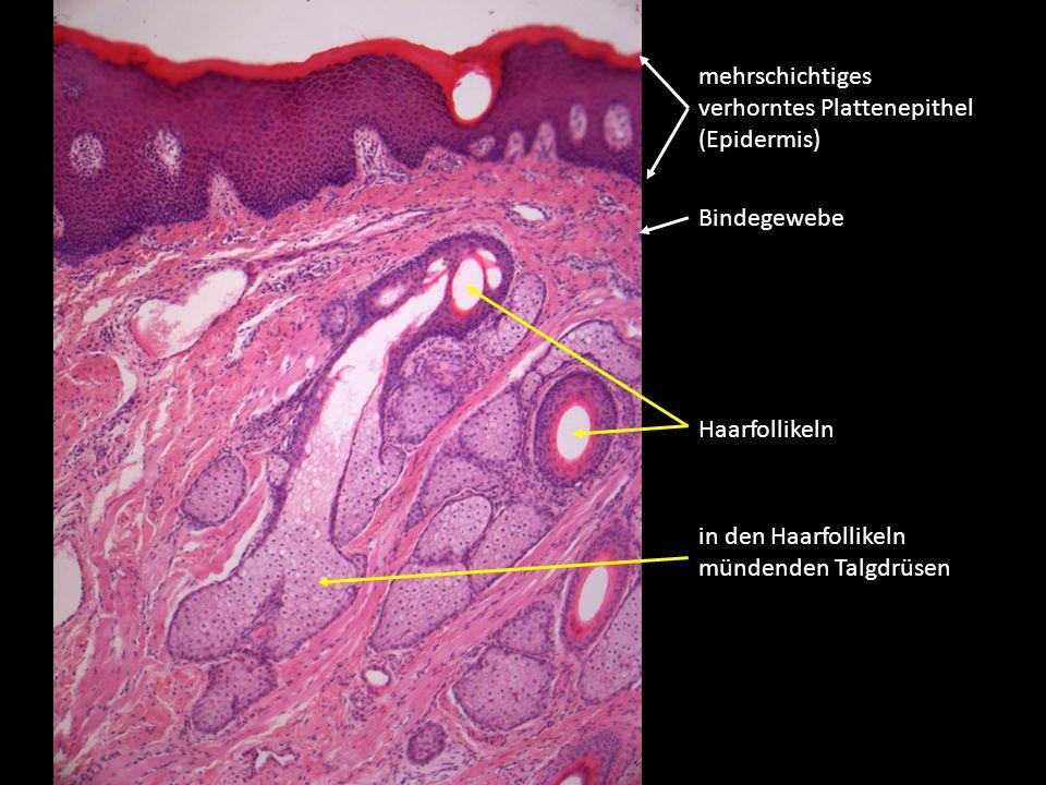 mehrschichtiges verhorntes Plattenepithel (Epidermis) Bindegewebe Haarfollikeln in den Haarfollikeln mündenden Talgdrüsen
