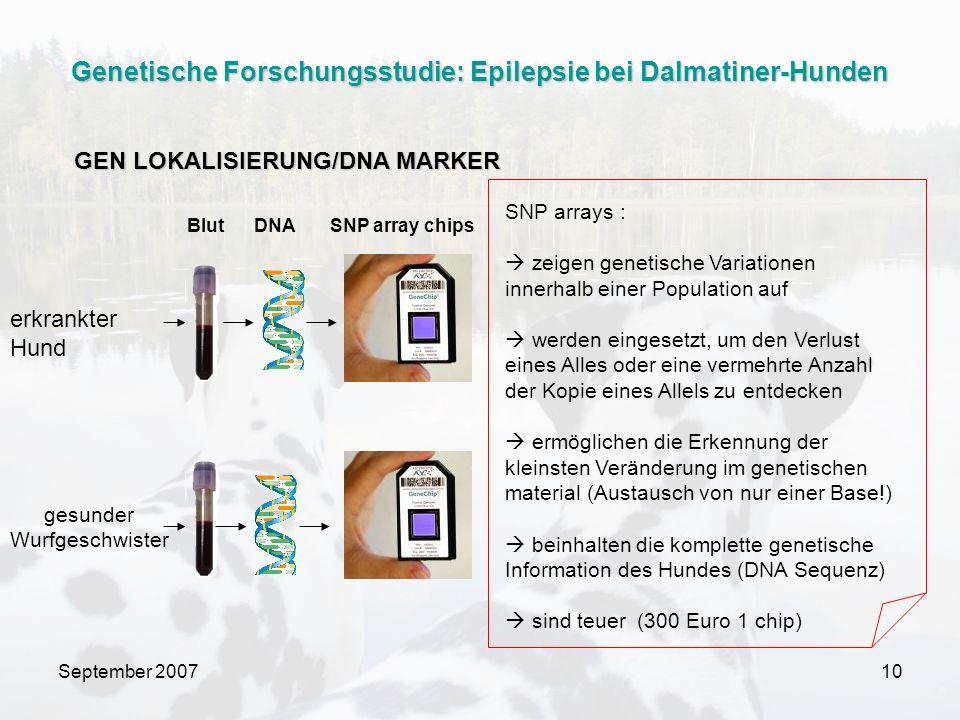 September 200710 Blut DNA SNP array chips erkrankter Hund gesunder Wurfgeschwister SNP arrays : zeigen genetische Variationen innerhalb einer Population auf werden eingesetzt, um den Verlust eines Alles oder eine vermehrte Anzahl der Kopie eines Allels zu entdecken ermöglichen die Erkennung der kleinsten Veränderung im genetischen material (Austausch von nur einer Base!) beinhalten die komplette genetische Information des Hundes (DNA Sequenz) sind teuer (300 Euro 1 chip) GEN LOKALISIERUNG/DNA MARKER Genetische Forschungsstudie: Epilepsie bei Dalmatiner-Hunden