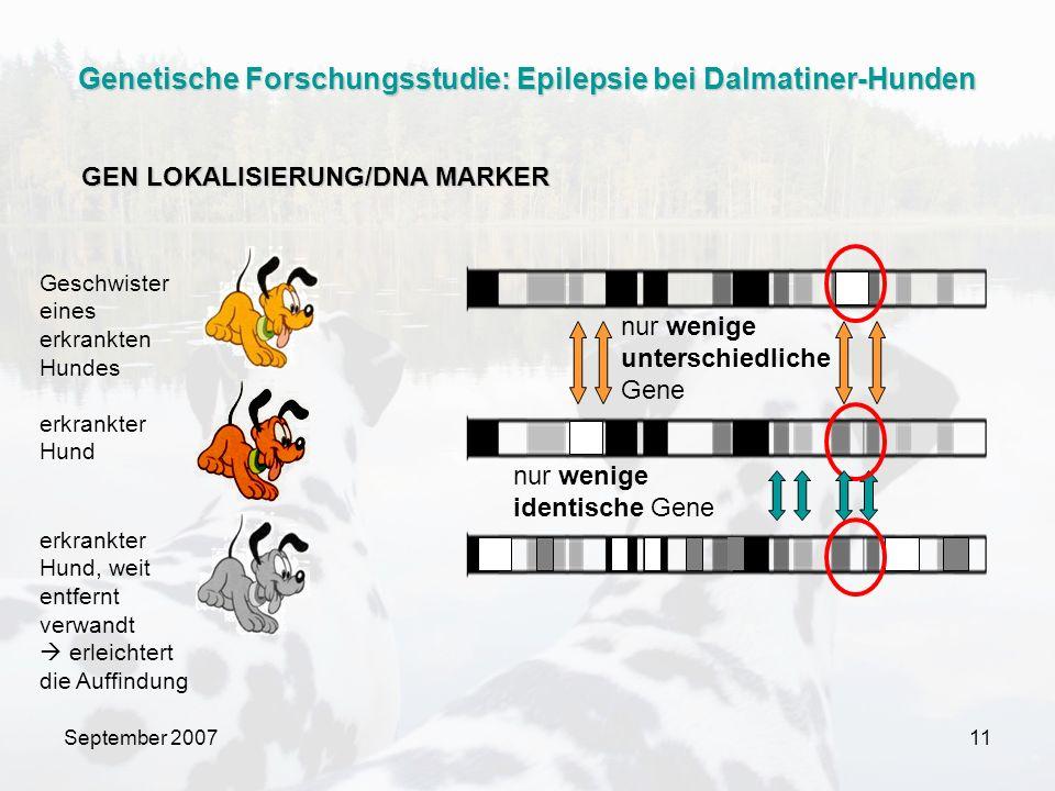 September 200711 Geschwister eines erkrankten Hundes erkrankter Hund erkrankter Hund, weit entfernt verwandt erleichtert die Auffindung nur wenige unterschiedliche Gene nur wenige identische Gene GEN LOKALISIERUNG/DNA MARKER Genetische Forschungsstudie: Epilepsie bei Dalmatiner-Hunden