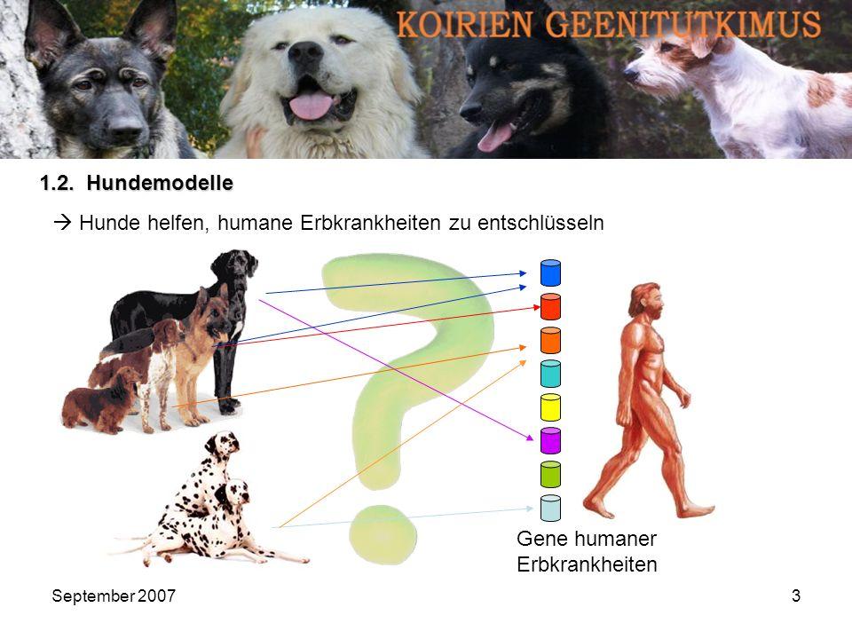 September 20074 Funktionierendes Modell: Lafora-Erkrankung der Menschen ( Hannes Lohi et.al, Science, 2005)Hannes Lohi et.al, Science, 2005 Mutation im Gen Epm2b Epm2b wird unlesbar Mangel eines Enzymes Probleme im Glykogenabbau Stärke-Anreicherung im Gehirn, Schädigung von Neuronen EPILEPSIE Mutation im Gen EPM2B, EPM2A Zwerg- Rauhhaardackel, Basset Hound: Chromosom 35 Mensch: Chromosom Nr.