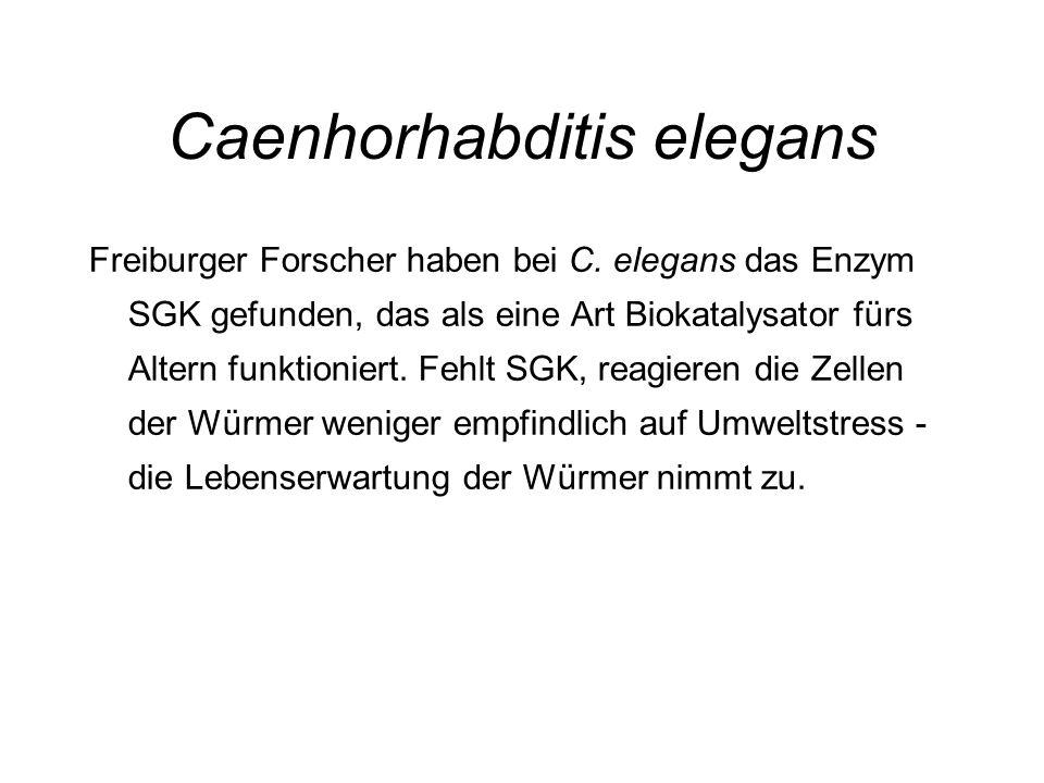 Caenhorhabditis elegans Freiburger Forscher haben bei C. elegans das Enzym SGK gefunden, das als eine Art Biokatalysator fürs Altern funktioniert. Feh