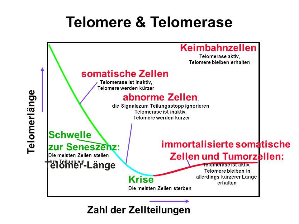 Telomere & Telomerase Keimbahnzellen Telomerase aktiv, Telomere bleiben erhalten Zahl der Zellteilungen Telomer-Länge somatische Zellen Telomerase ist