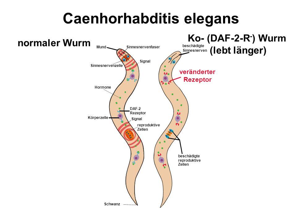 Caenhorhabditis elegans Mund Sinnesnervenfaser normaler Wurm Ko- (DAF-2-R - ) Wurm (lebt länger) beschädigte Sinnesnerven veränderter Rezeptor Sinnesn