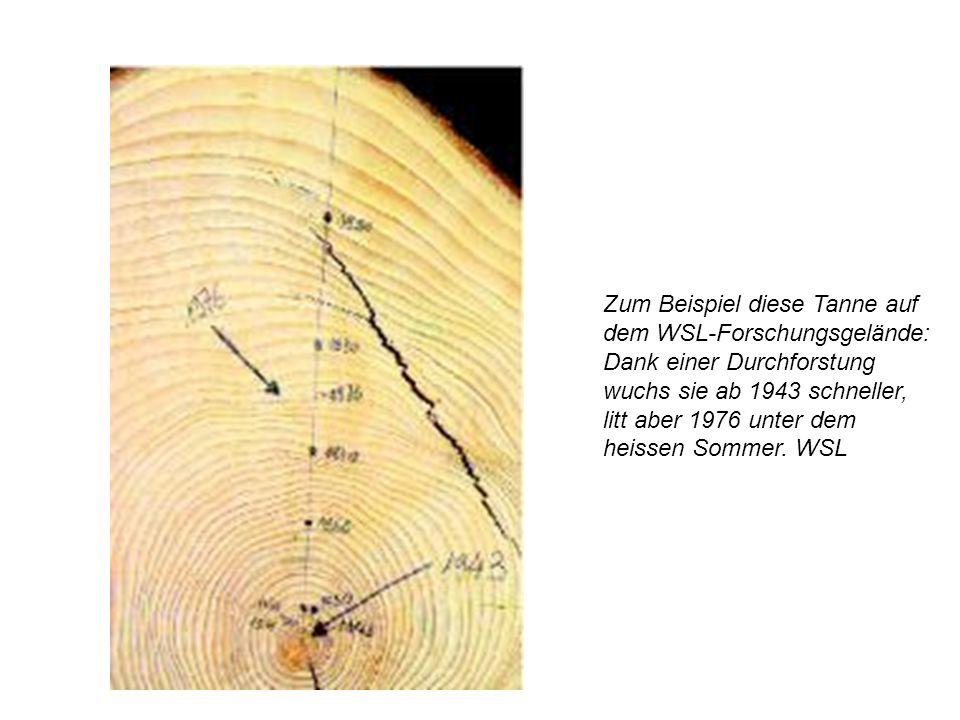 Zum Beispiel diese Tanne auf dem WSL-Forschungsgelände: Dank einer Durchforstung wuchs sie ab 1943 schneller, litt aber 1976 unter dem heissen Sommer.