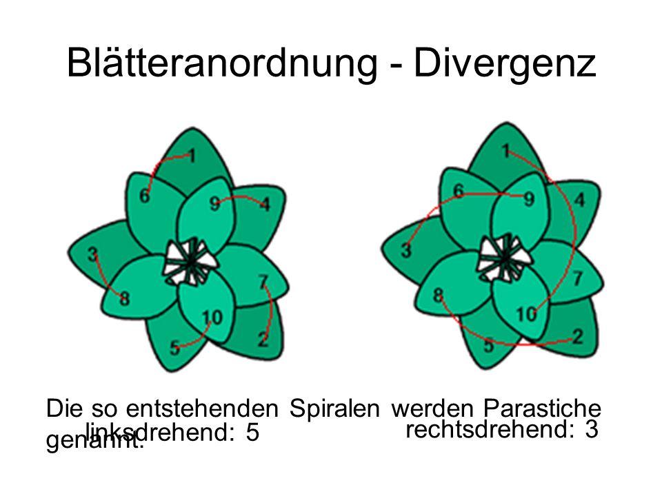 Blätteranordnung - Divergenz linksdrehend: 5 rechtsdrehend: 3 Die so entstehenden Spiralen werden Parastiche genannt.